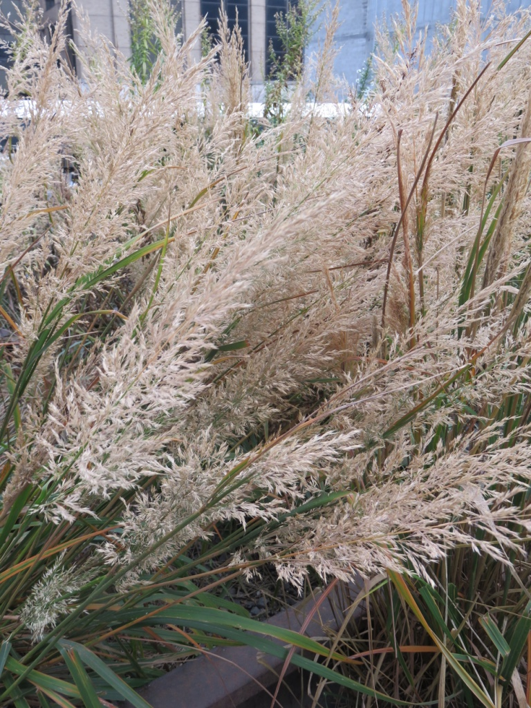 Ornamental Grasses Upstate Ny : Grasses on the high line in new york are fantastic even
