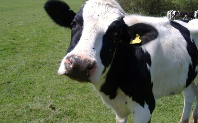 Cows shaken but not stirred