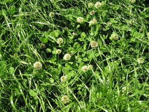 grass, white clover, Sara Gregson, talkinggrass