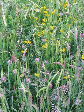 Restoring species-rich hay meadows captures public's imagination