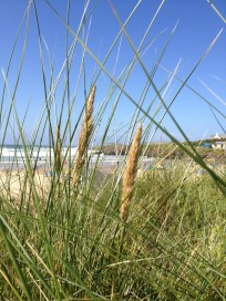 Marram grass – designed to thrive in tough conditions