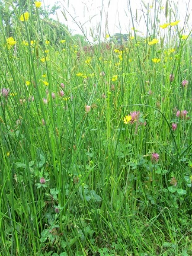 RHS Wisley Alpine Meadow