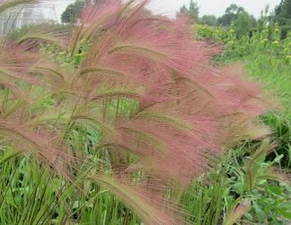 Glorious grasses much in evidence at RHS Wisley this week