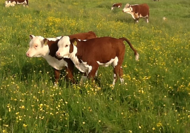 Healthy swards; healthy livestock on pasture-fed farm