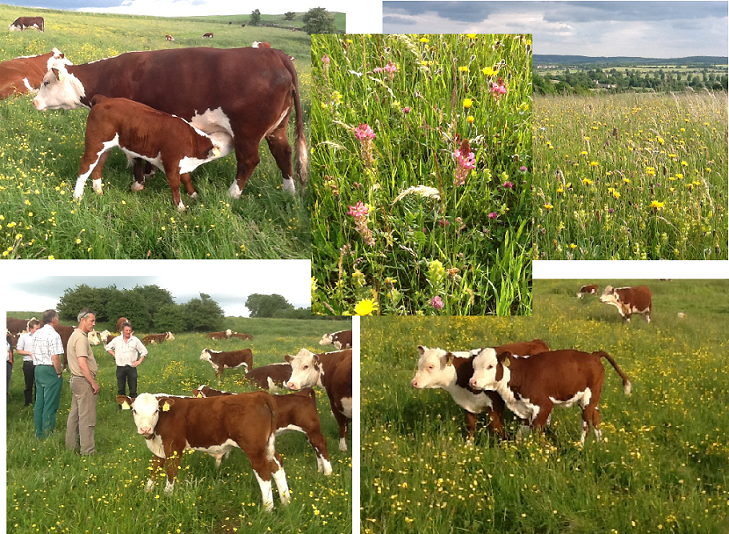 Pasture-fed Hereford cattle on Ian and Kathy Boyd's farm in Gloucestershire.