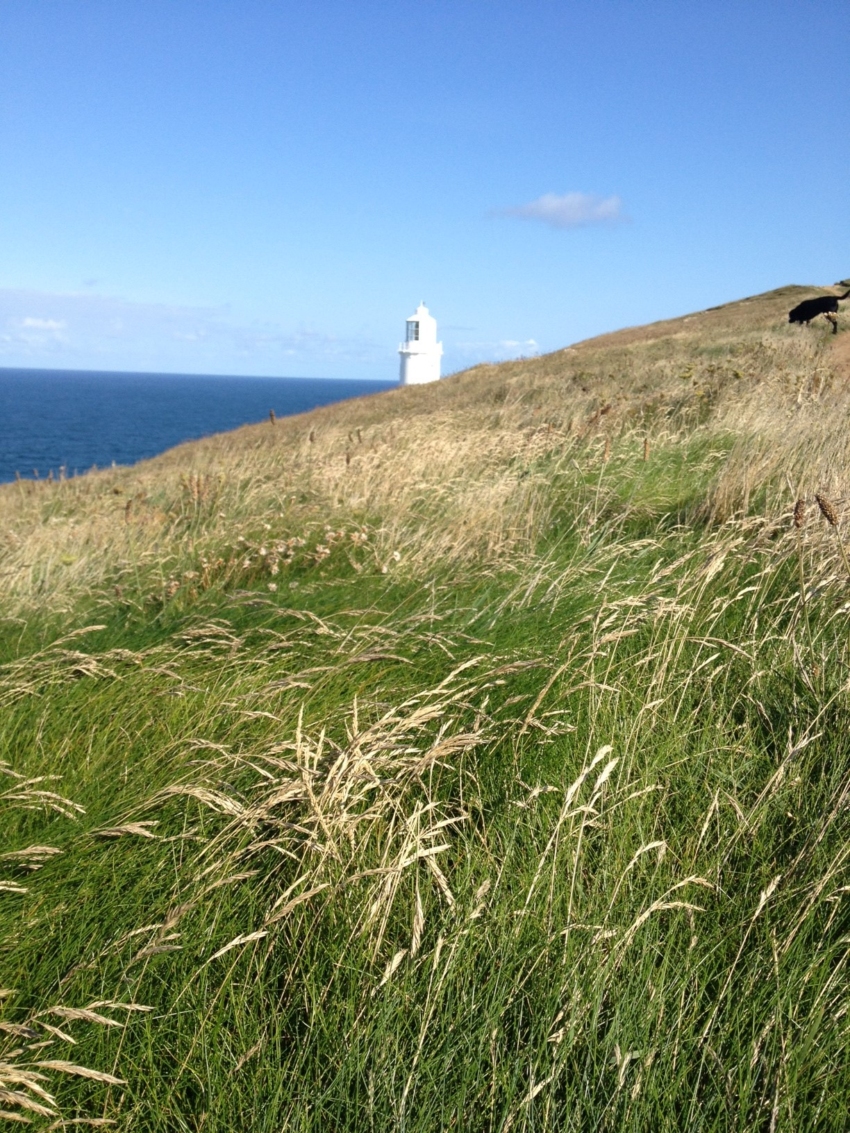 Seeded grasses blow in the wind below Trevose Head lighthouse