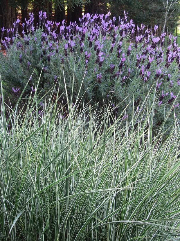 11 Silver grasses at Ayrlies