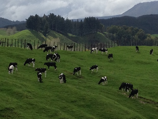 Calves are outside from an early age – these youngsters looked fit and healthy grazing hills close to Tarawera Mountain – a restlessly sleeping volcano which last blew as recently as June 1886.