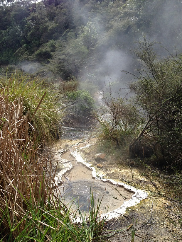 Grasses at Waimangu hydrothermal valley have adapted to living with their roots in boiling water...