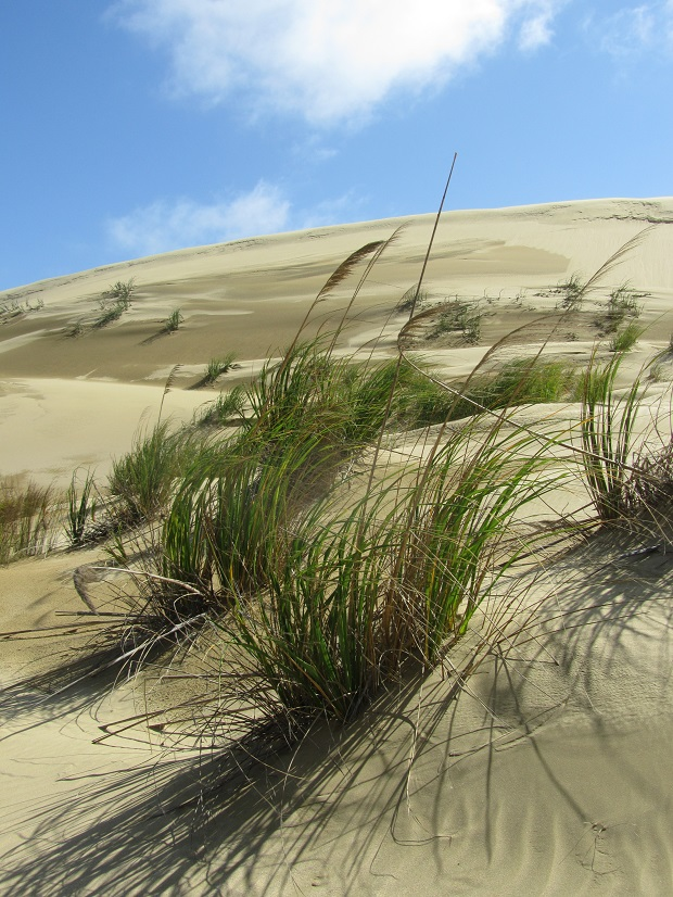 ... while plants try to colonise the massive and constantly shifting Te Paki sand dunes, at the northern tip of 90 Mile Beach in the far north-west.