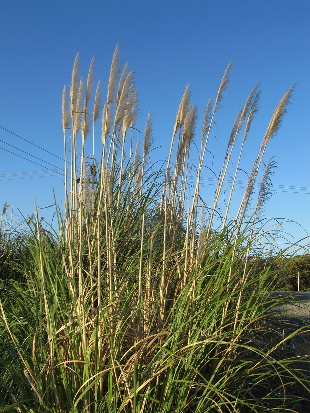 Imported weed grasses also find conditions just right in NZ. On many roadsides in North Island the noxious Cortaderia selloana grows in abundance – originally from South Africa.