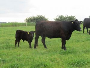 Small, durable (age range 2-14 years), fertile cows are born and bred to produce milk and meat from grass.