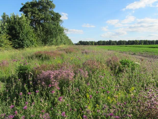 Therfield Heath - herb-rich margin