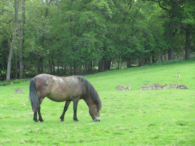 Exmoor ponies graze while deer herds browse the edges and hedges
