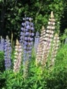 Lupins for Finland