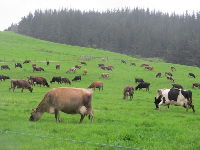 Low cost dairy cows in New Zealand