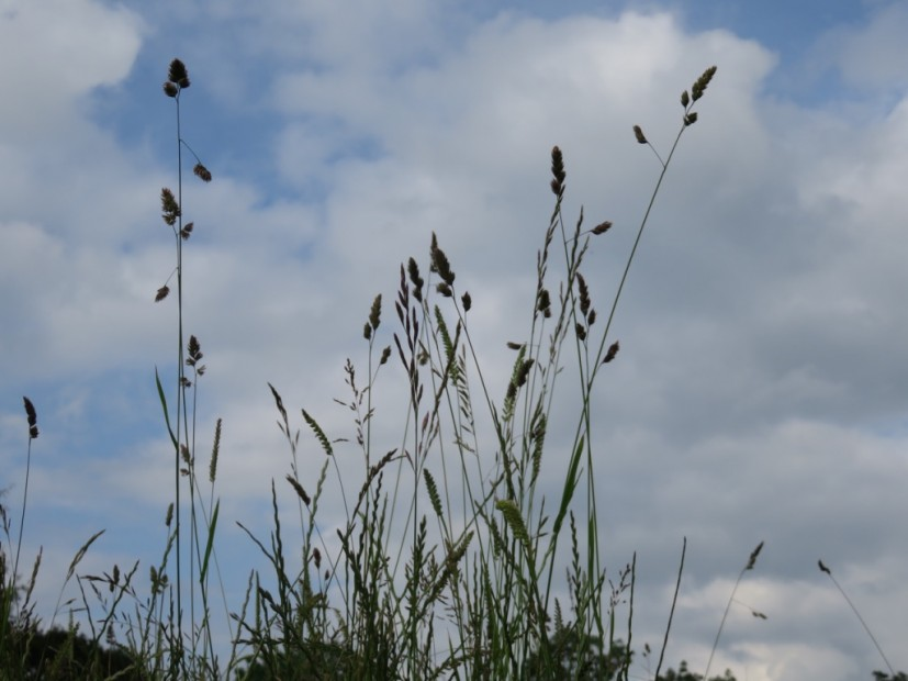 Grasses from my dog walk
