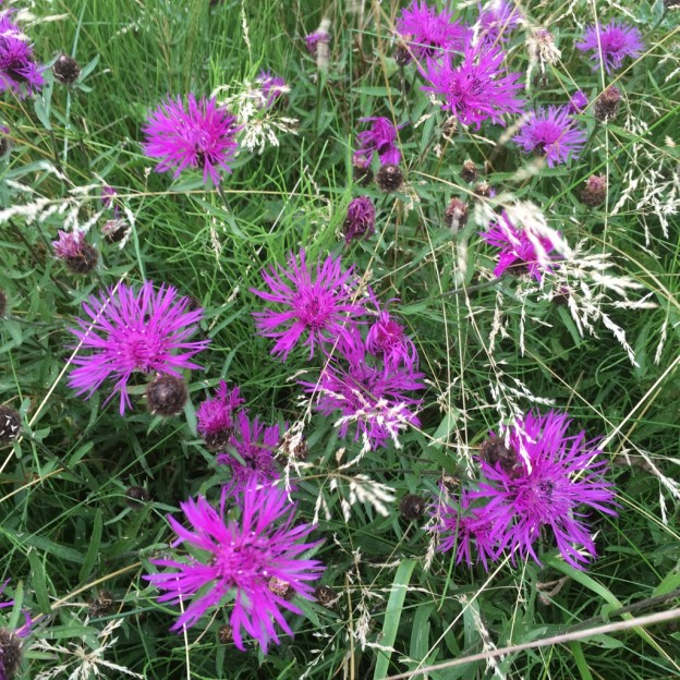 Clumps of bright purple knapweed pepper the grassland areas