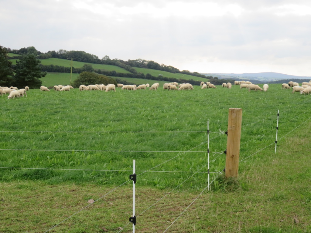 Nick Jasper's ewes grazing new pasture