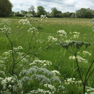 Cow parsley - a feature of many a meadow walk