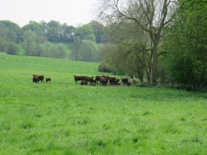 Anna Blumfield's cows and calves