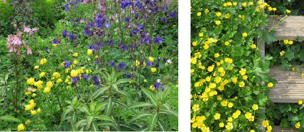 Wildflowers Welcome! Aquilegias have self-seeded whilst swaths of buttercups appear everywhere.
